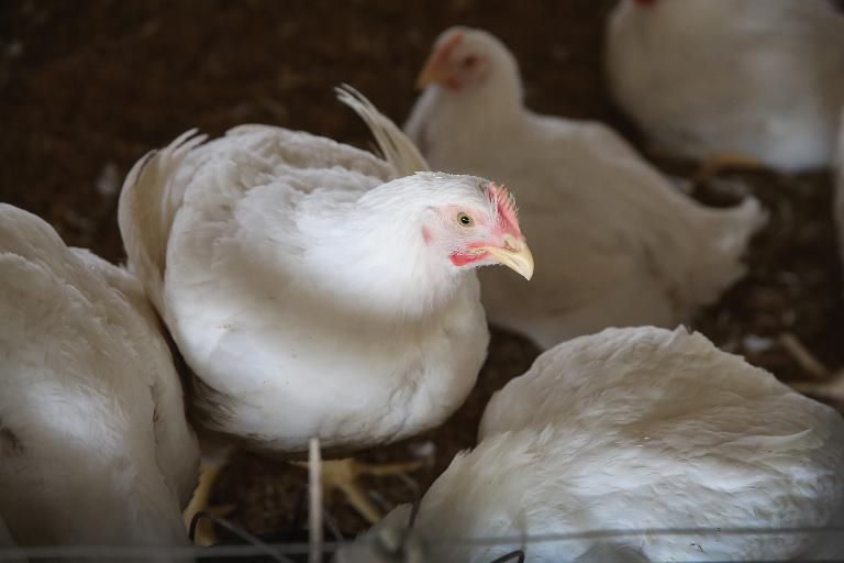 wpid-chickens-and-turkeys-have-been-euthanized-on-four-farms-affected-by-an-outbreak-of-avian-influenza-in-british-columbia-canada.jpg